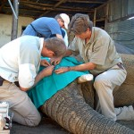 Amakhala vets treat an elephant