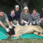 Volunteers pose with a sedated lion