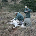 Amakhala vets tend to an injured zebra