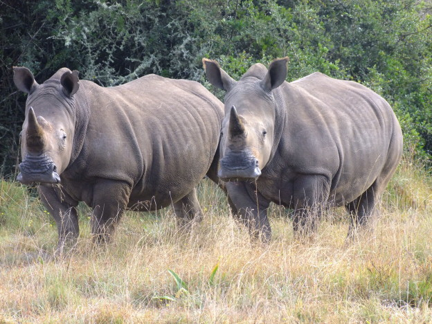 Two rhinos congregating in the african plains