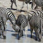Zebra drinking from a waterhole in South Africa
