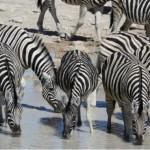 Zebra drinking from a waterhole in South Africa