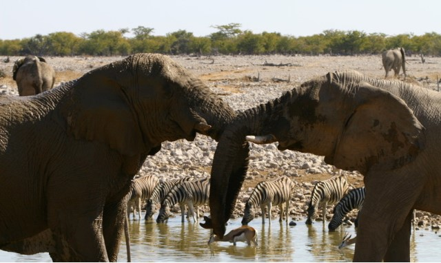 two elephants holding each others trunks