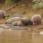 Hippos around lake in Africa