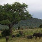 An elephant herd congregate around a tree