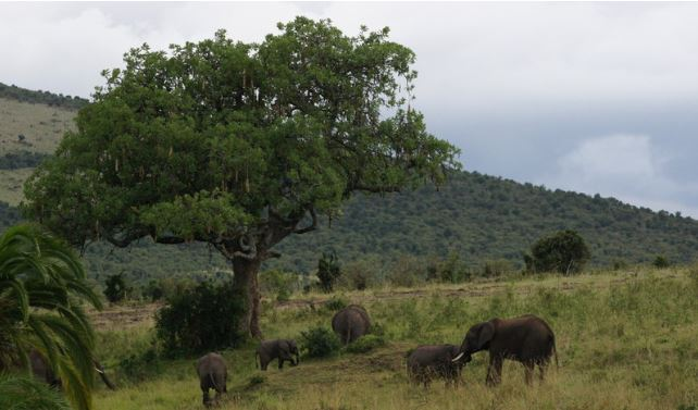 An elephant herd congregate around a tree
