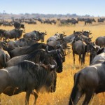Herd of wildebeest in Africa