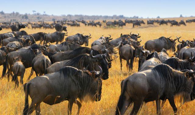 Herd of wildebeest in Africa