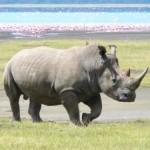 A rhino roaming through South Africa