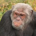 An ape at the Masai Mara and Gorillas tour