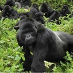 A stunning view of a gorilla troup