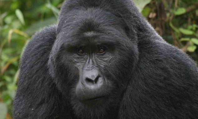 Beautiful gorilla