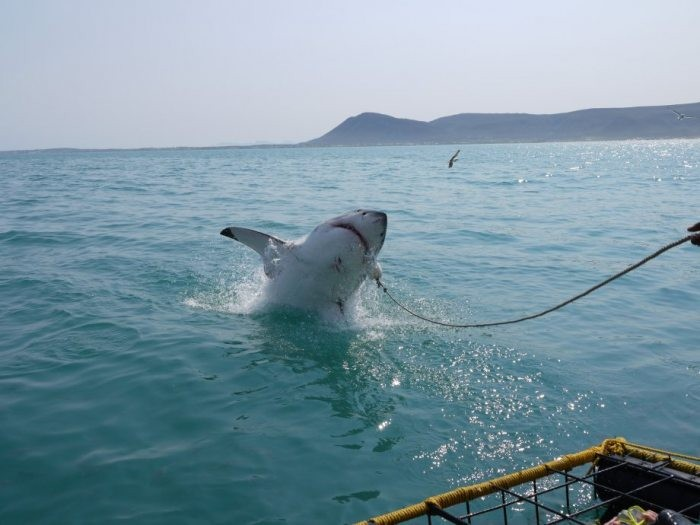 A shark jumps out of the water to catch some bait