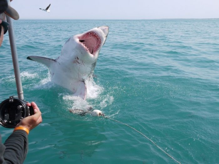 A shark jumps out of the water as volunteers take pictures
