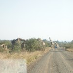 A herd of giraffes eat from a tree whilst a car approaches in the distance