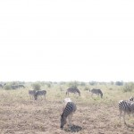 A herd of zebra grazing on the grass in South Africa