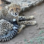 A cheetah sits up against the fence at HESC