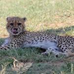 A lying down cheetah licks his lips at HESC