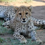 A young cheetah sits in the grass surveying the photographer