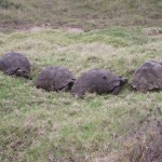 Four tortoises making their away across the ground