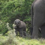 A baby elephant holding a stick with his trunk, whilst an adult stands nearby