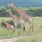 Three giraffes standing in height order