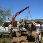 Vets work to relocate a buffalo