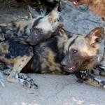 A pack of wild dogs at Hoedspruit endangered species centre