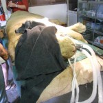A lioness undergoing treatment at Hoedspruit endangered species centre