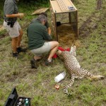 A vet treats a cheetah and blindfolds it