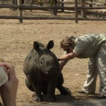 A vet treats a young rhino as volunteers watch on