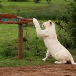 A white lioness adjusting a sign