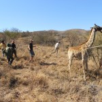 Shamwari staff work with volunteers to control a giraffe