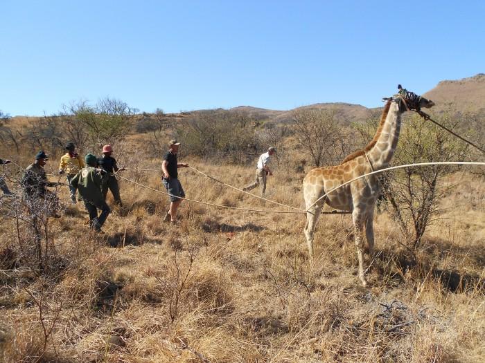 Shamwari staff work with volunteers to control a giraffe