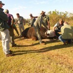 Volunteers work on a sedated buffalo as vets assist