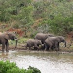 A group of elephants leave their watering hole