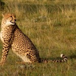 A cheetah sitting up