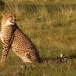A cheetah sitting up