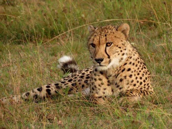 A cheetah laying in the grass