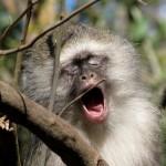 A yawning monkey