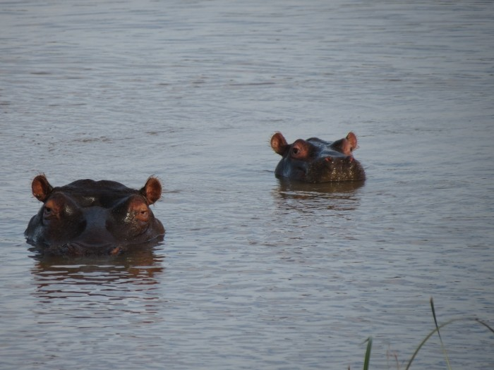 Two hippos submerged beneath the water