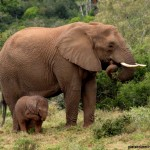 A baby elephant smells its foot whilst its mother eats