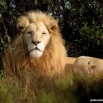 A white lion male