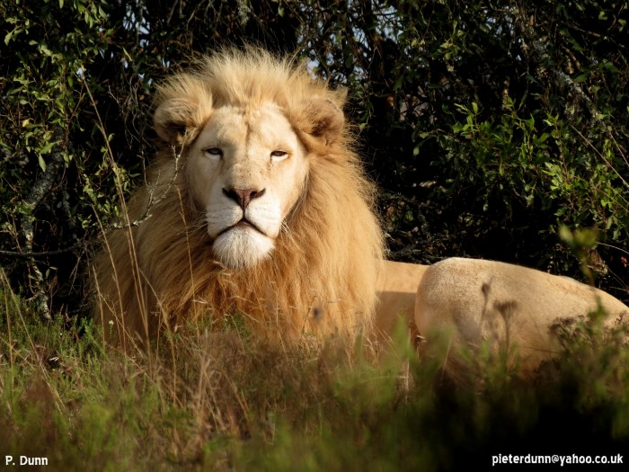 A white lion male