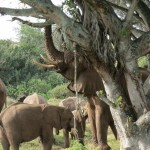A herd of elephants use their trunks to grab food from a tree