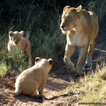 A lioness and her cubs in the tyre tracks