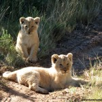 Two lion cubs sitting in tyre tracks