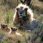 A white lion pride