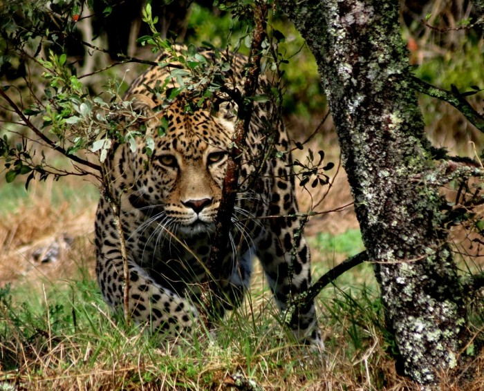 A leopard scouts its prey through the overgrowth