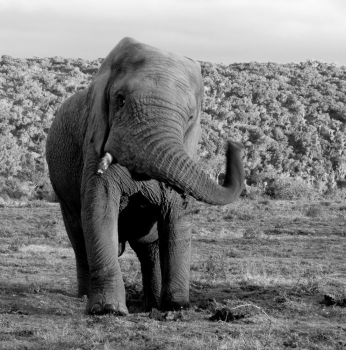 An elephant swings its trunk towards the camers